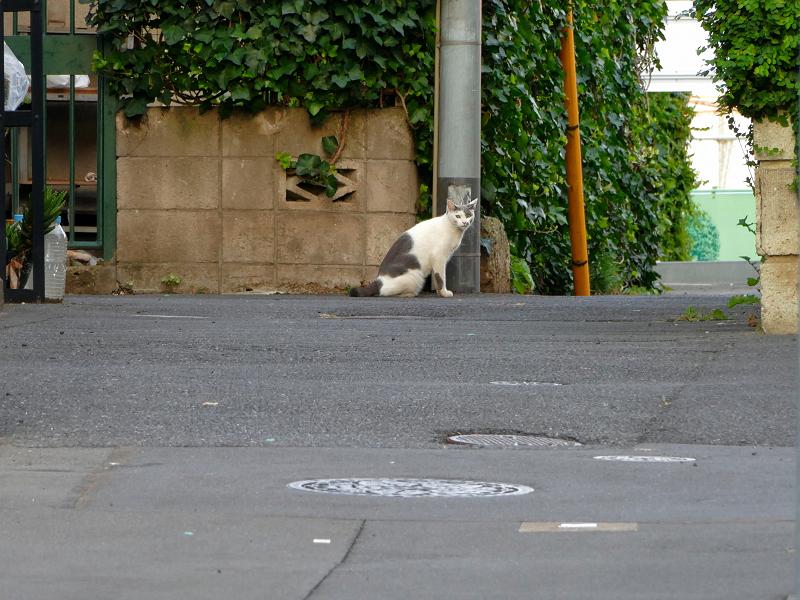 遠くで見ている白グレー猫2