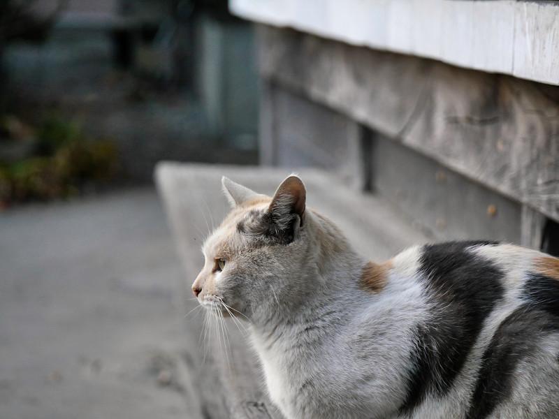 薄い柄の三毛猫の横顔2
