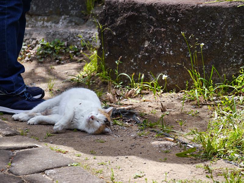 転がり続ける白三毛猫2