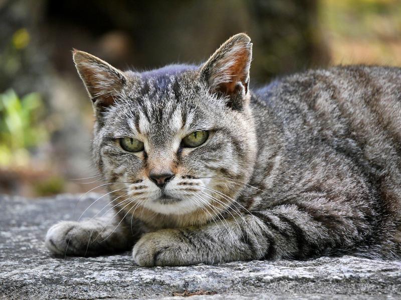 まだ無表情のキジトラ猫2