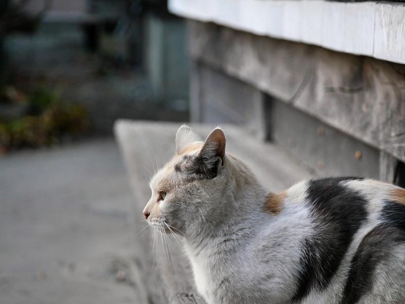 薄い柄の三毛猫の横顔3