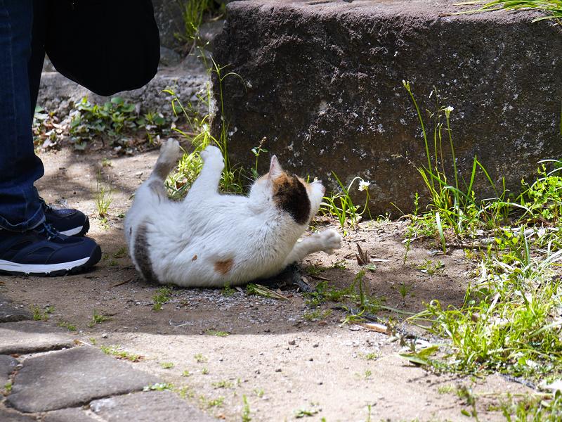転がり続ける白三毛猫3