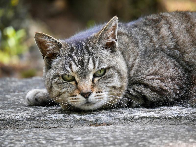 まだ無表情のキジトラ猫3