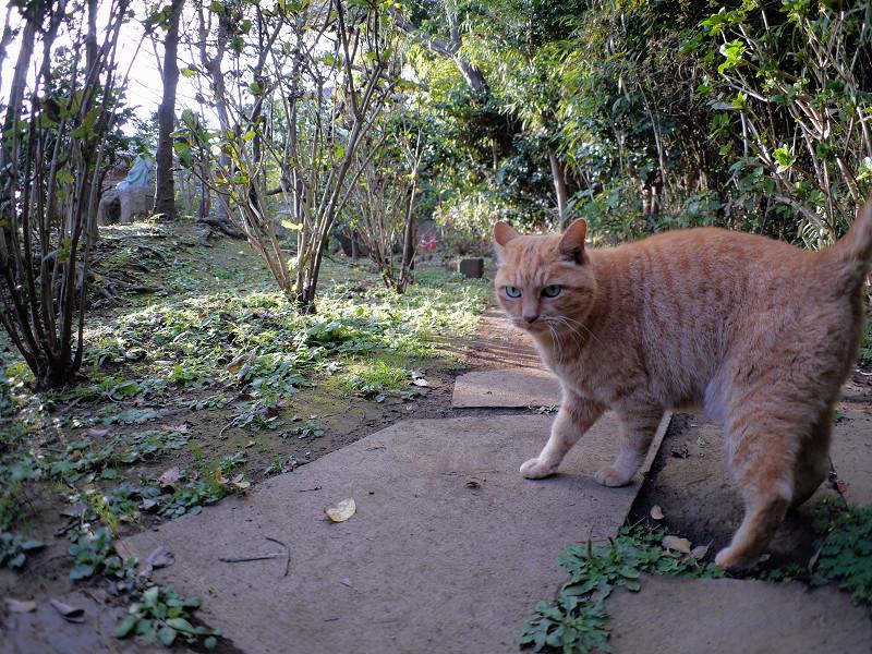雑木林の茶トラ猫1