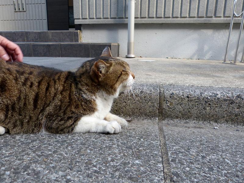 腹ばったままのキジ白猫2