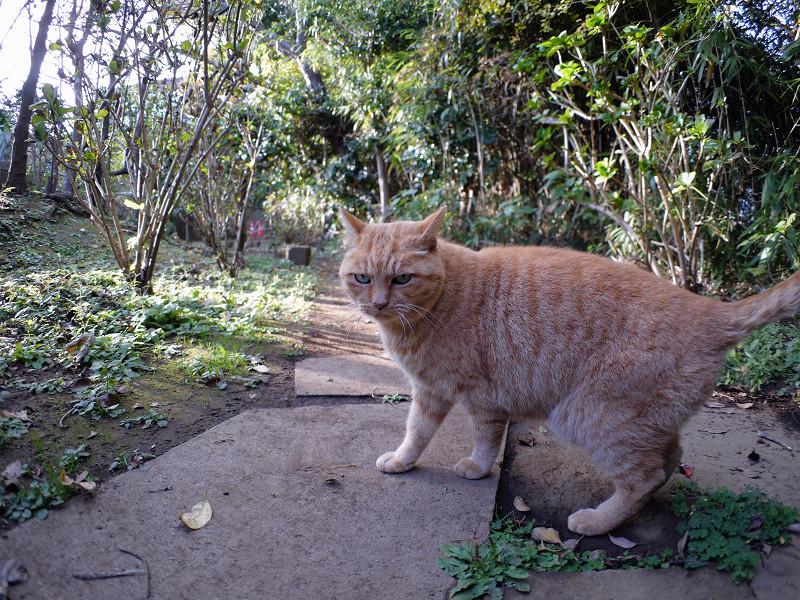 雑木林の茶トラ猫2