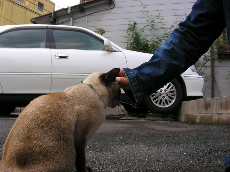 触らせてくれた洋風猫1