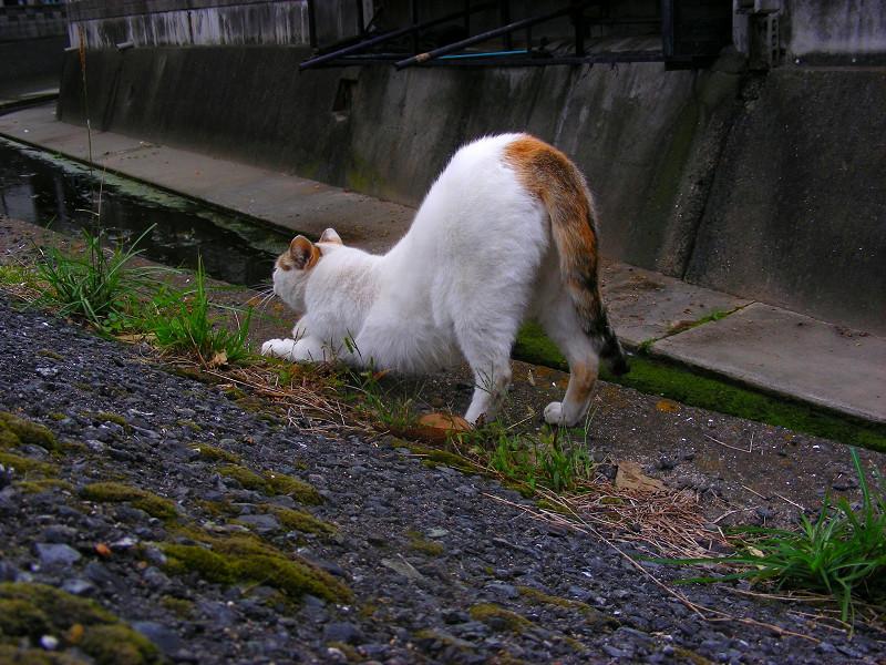 前伸びをする白三毛猫