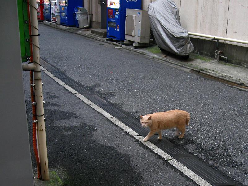 街の路地を歩く茶トラ猫1