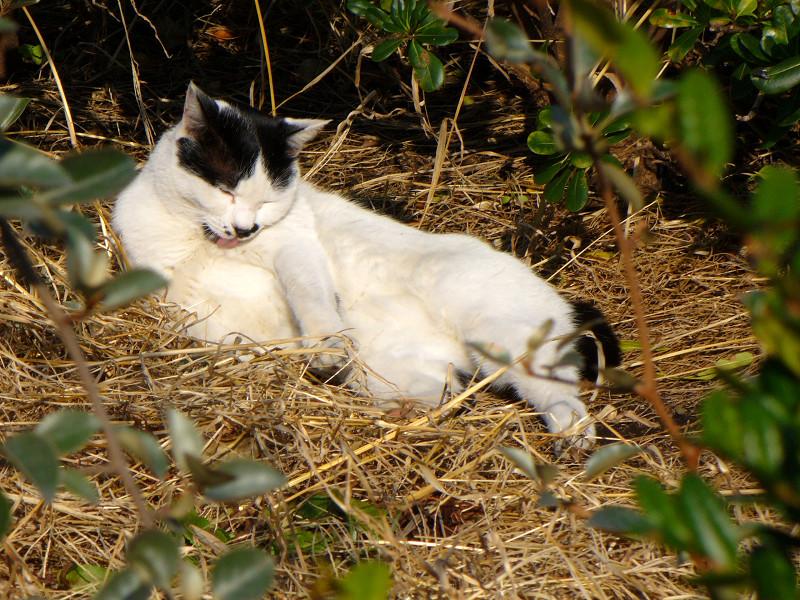 枯れ草ベッドで毛繕いする猫1