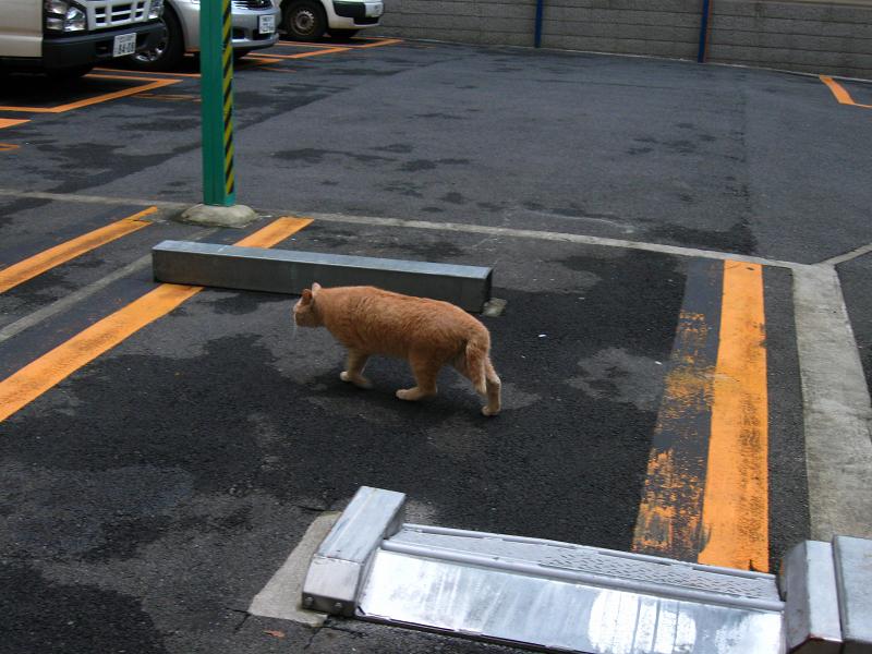 街の路地を歩く茶トラ猫2