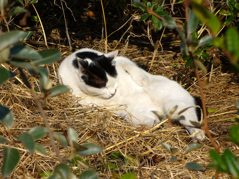 枯れ草ベッドで毛繕いする猫2