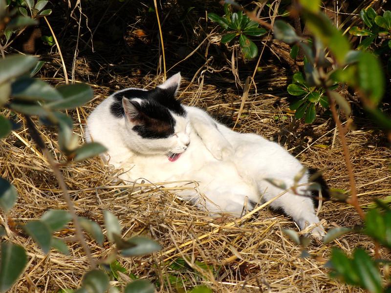 枯れ草ベッドで毛繕いする猫3