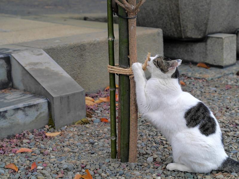 縄にしがみつく白キジ猫1