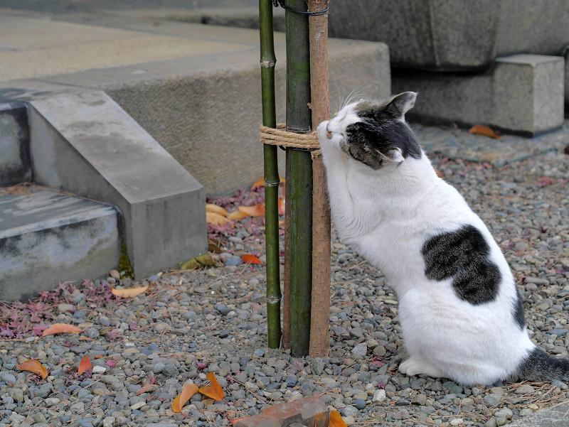 縄にしがみつく白キジ猫3