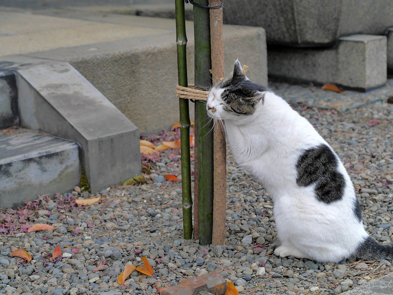 縄にしがみつく白キジ猫4