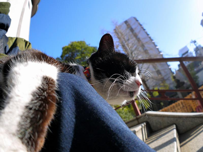 膝の上で寛いでる黒白猫1