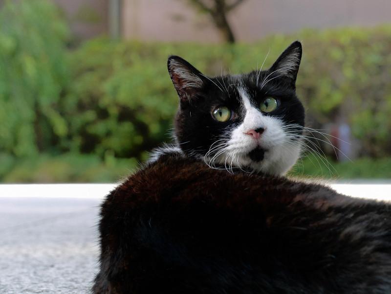 耳で語る黒白猫2