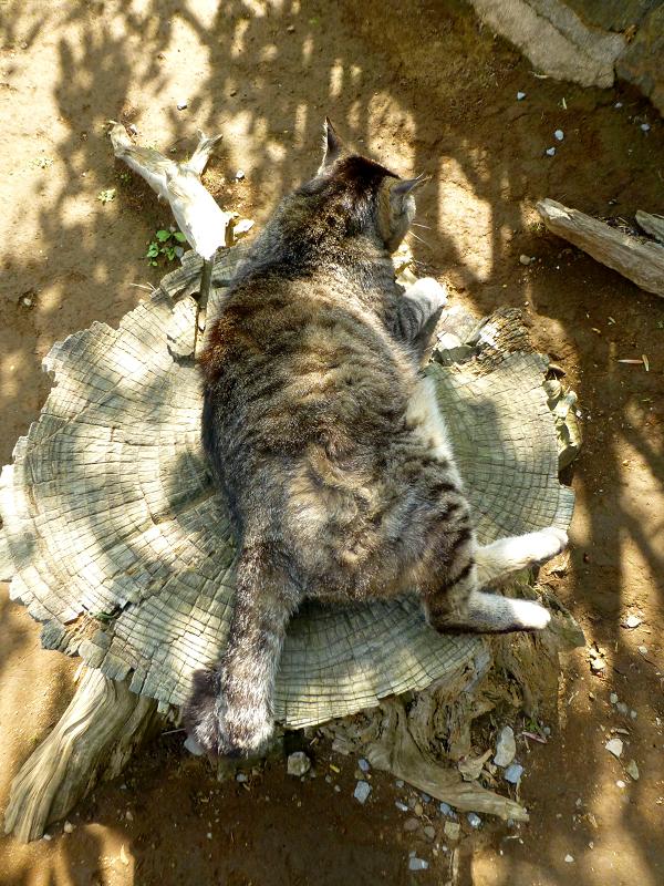 切り株で寝ているキジトラ猫1