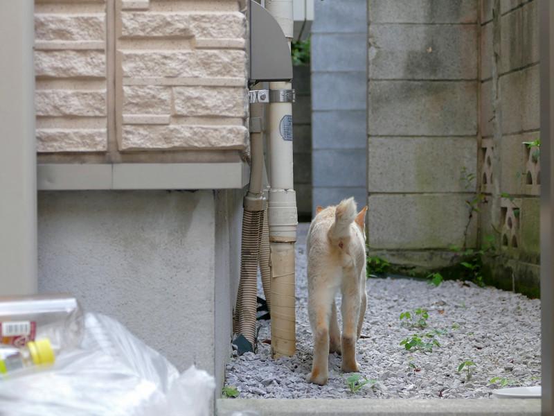 砂利の上を歩く白系猫1