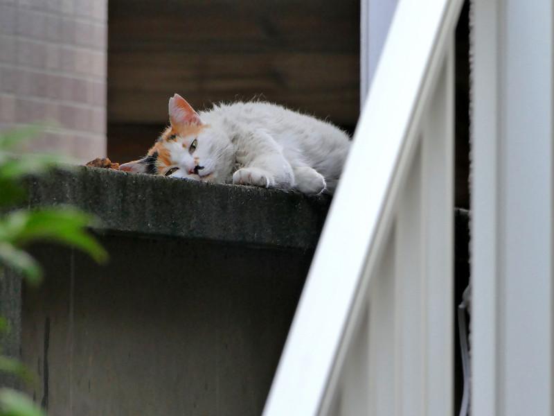ブロック塀で寝ちゃってる白三毛猫1