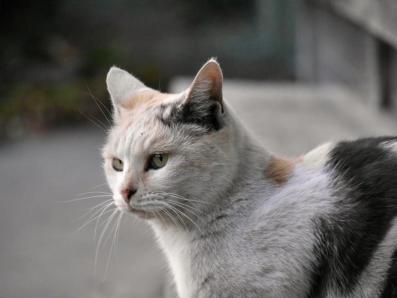耳を立ててる薄い柄の三毛猫1