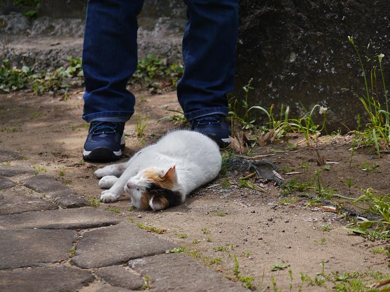 足元で転がり続ける白三毛猫1