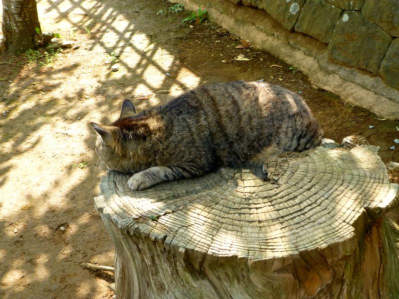 切り株で寝ているキジトラ猫2