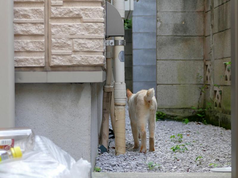 砂利の上を歩く白系猫2