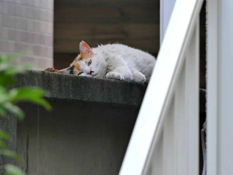 ブロック塀で寝ちゃってる白三毛猫2