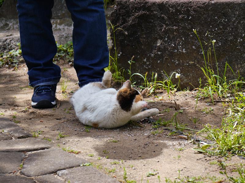 足元で転がり続ける白三毛猫2