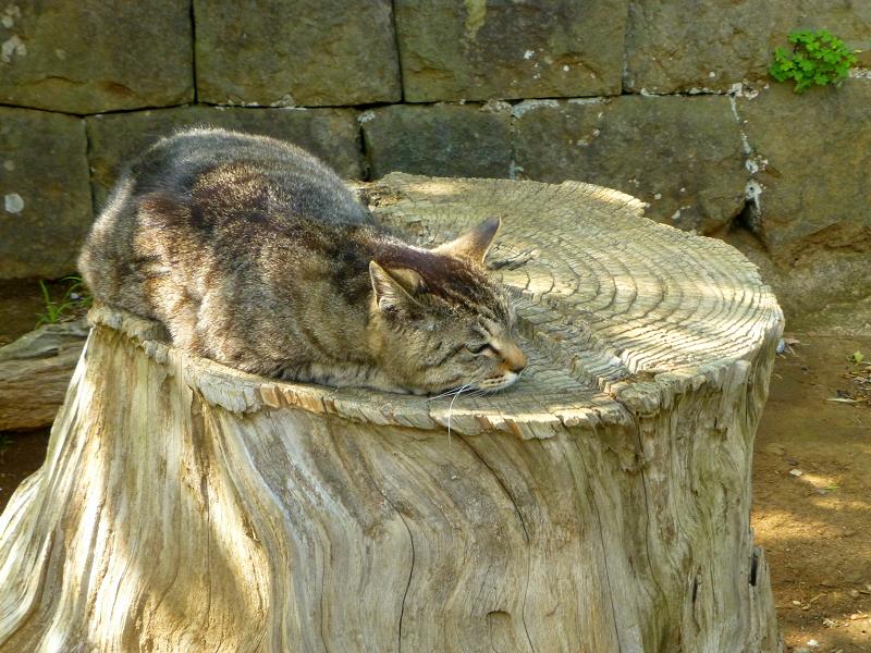 切り株で寝ているキジトラ猫3