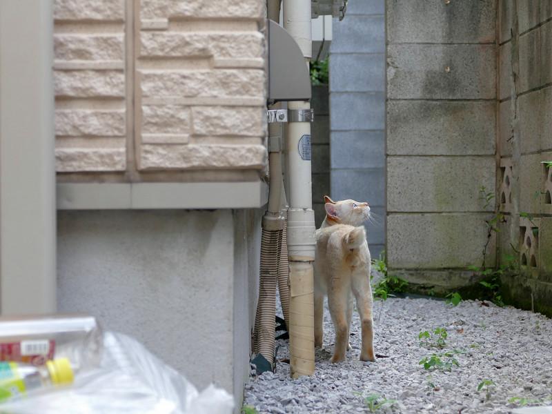 砂利の上を歩く白系猫3