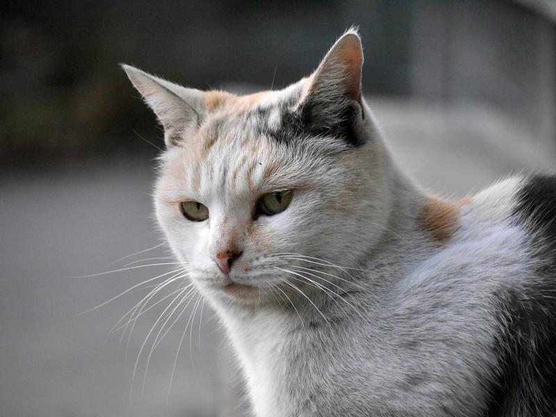 耳を立ててる薄い柄の三毛猫2
