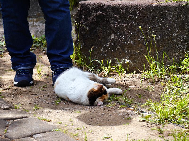 足元で転がり続ける白三毛猫3