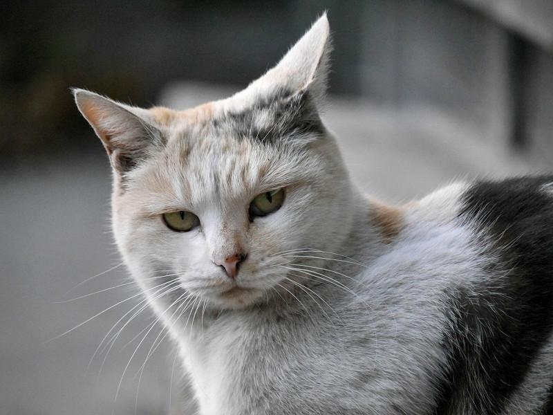 耳を立ててる薄い柄の三毛猫3