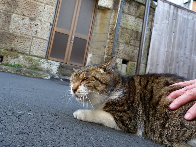 触られてるキジ白猫1