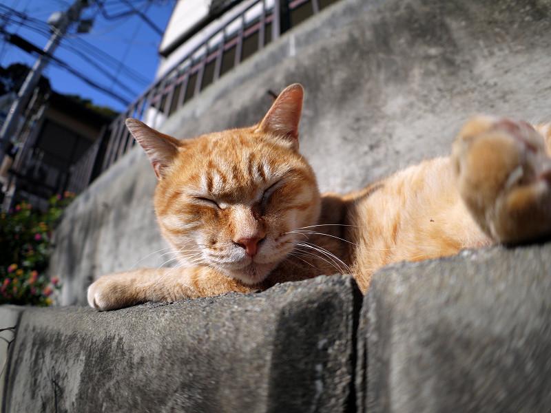 寝起きの茶白猫1