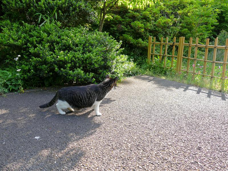 茂みを見つめるキジ白猫1