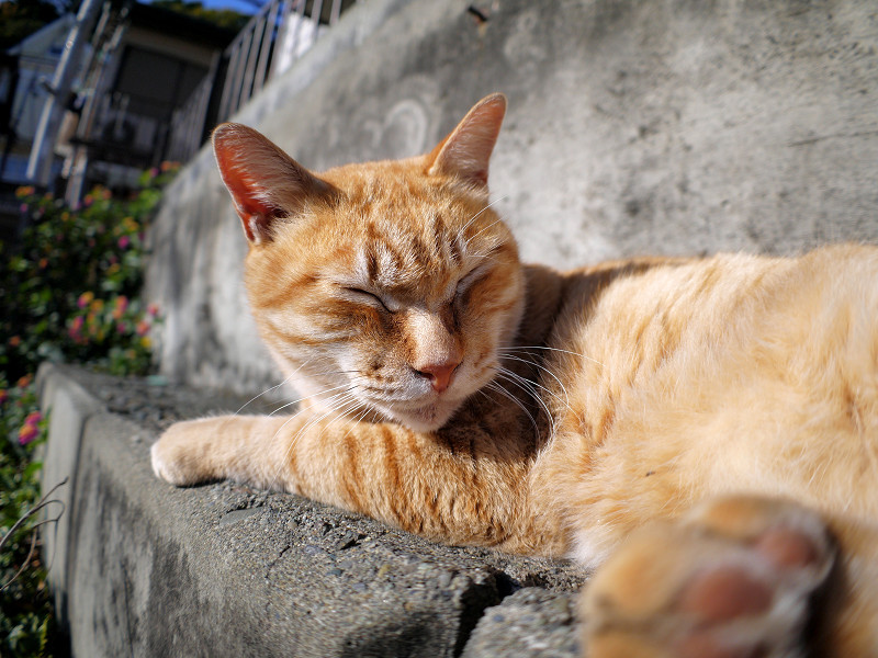 寝起きの茶白猫2
