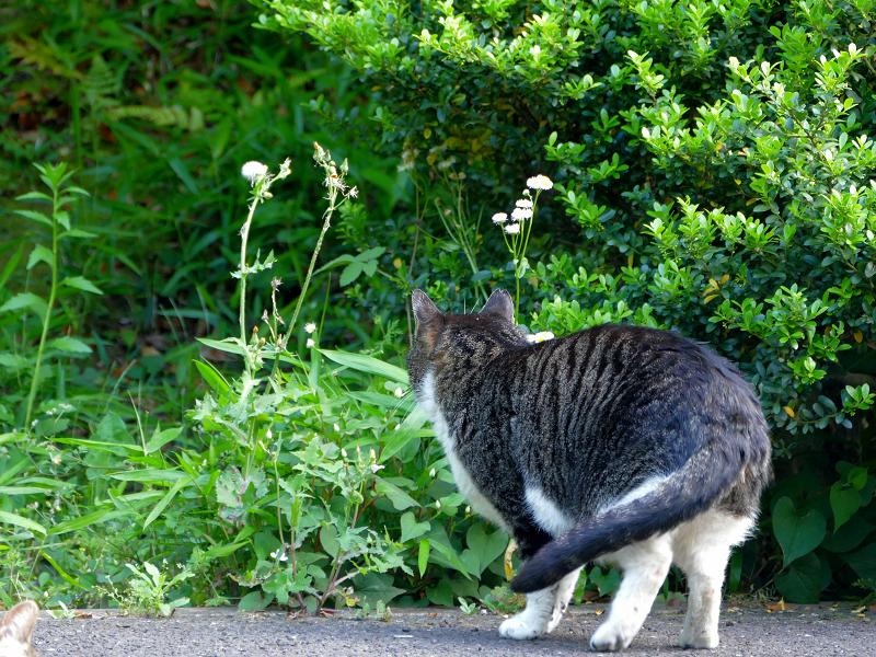 茂みを見つめるキジ白猫2
