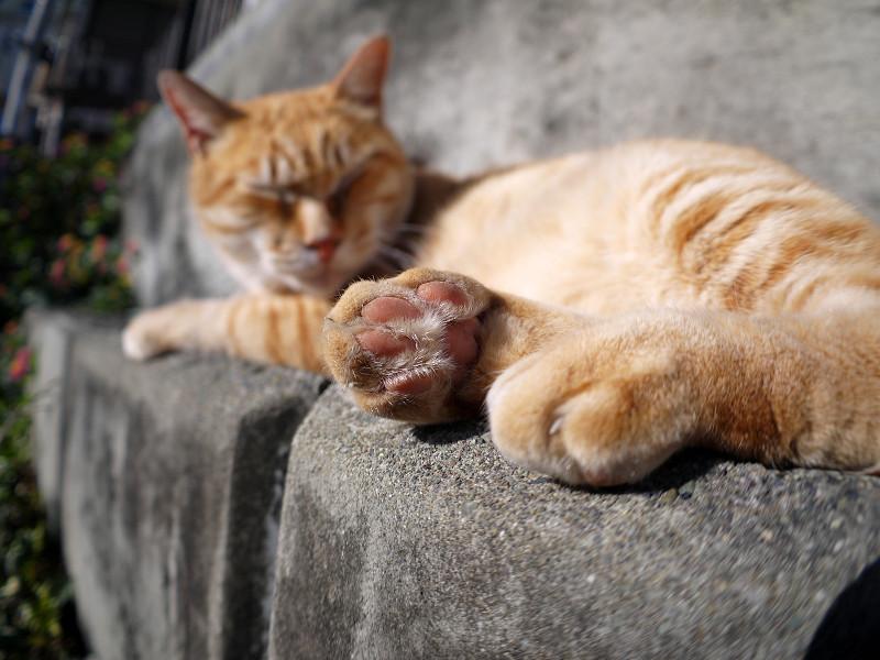 寝起きの茶白猫3