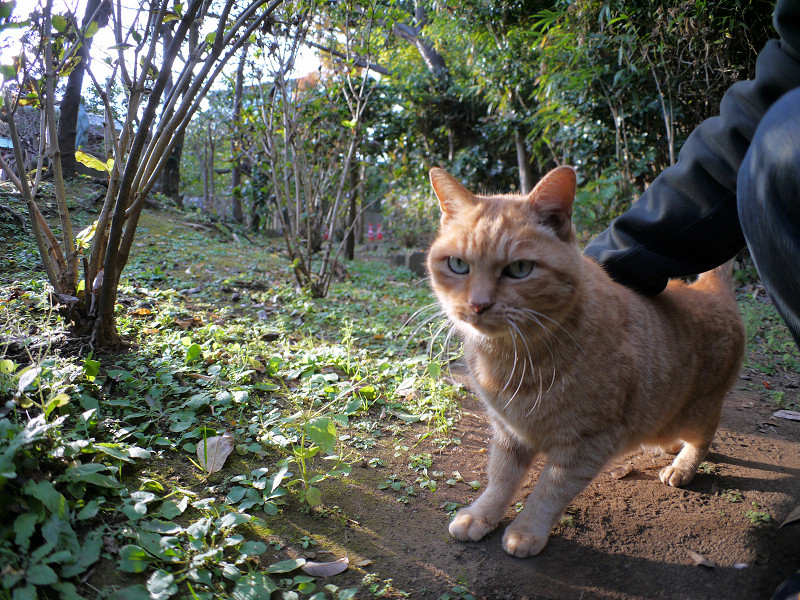 雑木林の茶トラ猫5