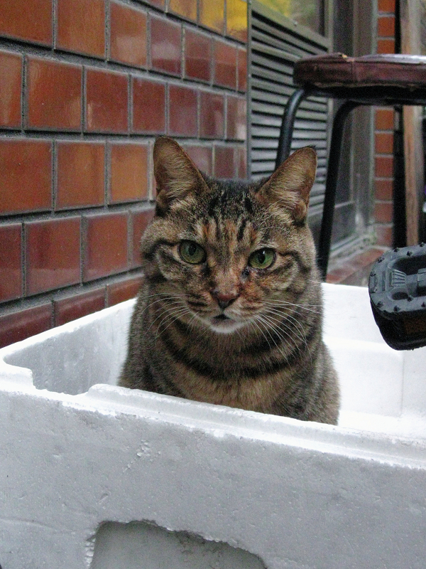 発泡スチロールの中にキジトラ猫1