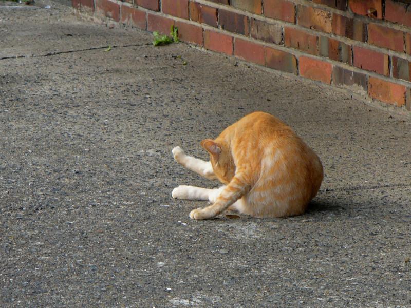 向こう向きで毛づくろいする茶白猫1