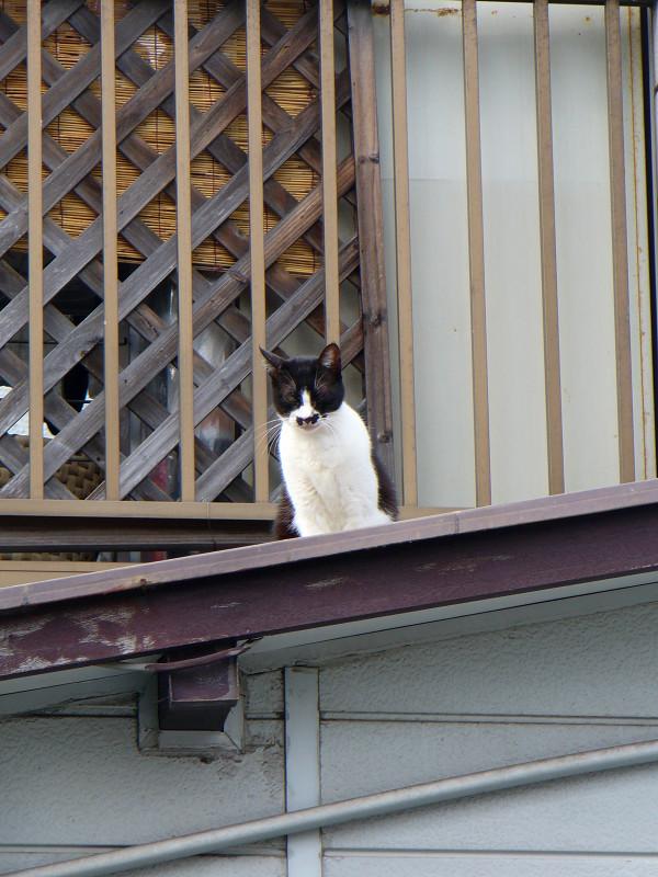 屋根上の黒白猫1