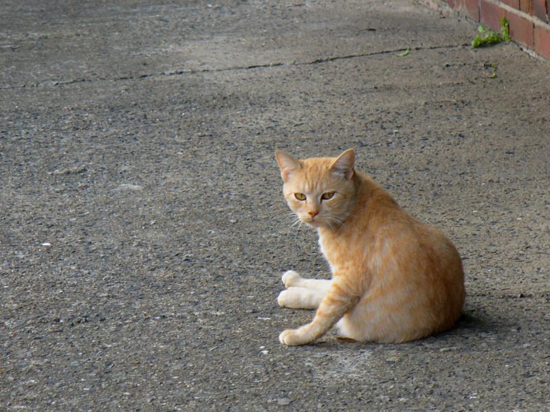 向こう向きで毛づくろいする茶白猫2