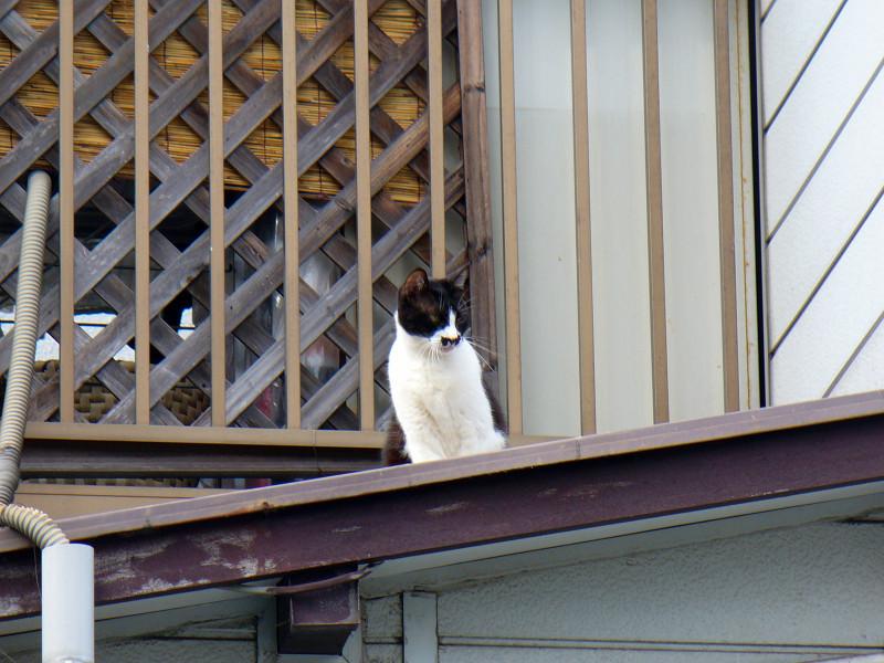 屋根上の黒白猫2