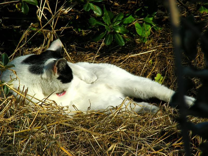 お腹をみせて毛づくろいする猫3