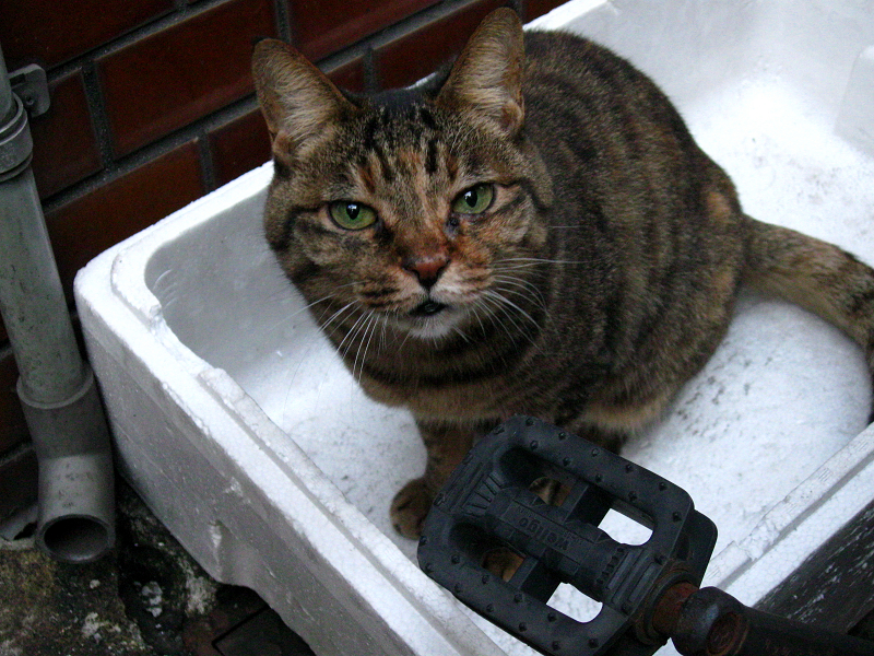 発泡スチロールの中にキジトラ猫3